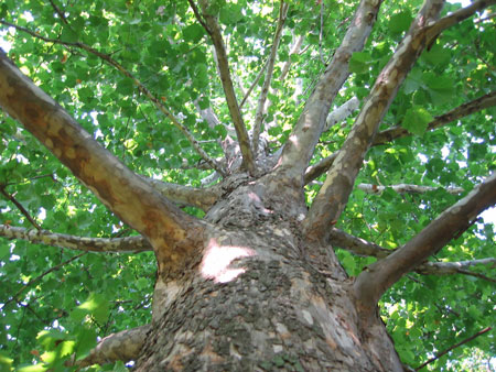 American_Sycamore_Tree_450_1